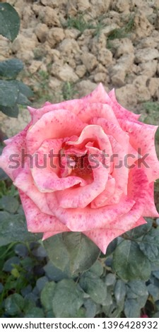 rose flower with reddish spot on pink pettles