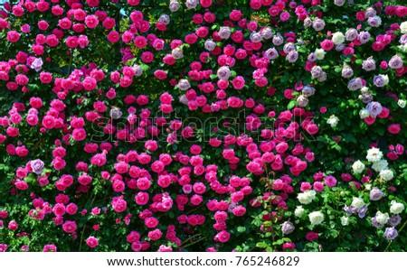 Rose flowers at Ashikaga Park in Tochigi Prefecture, Japan.