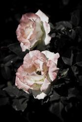 Rose Flowers in the design of natural dark tones.
