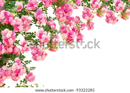 rose flowers isolated on white background