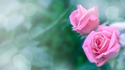 Rose flowers on a blurry background. Flower background, design. High quality photo
