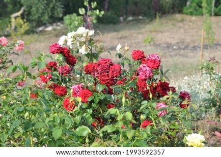 rose Flowers on the garden