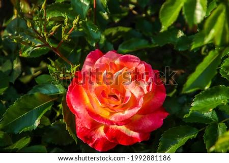 Rose garden Guldemondplantsoen as national monument in Boskoop in the Netherlands with rose variety Belles Rives Photo stock ©