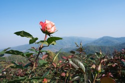 rose garden view with mountain landscape at the background, orange rose growing up to the blus sky