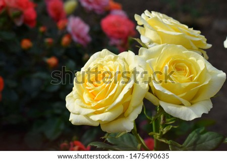 """Rose garden with yellow roses """"Ilios"""" ( Schretroje). part of rose garden with red roses. From the Netherlands"""