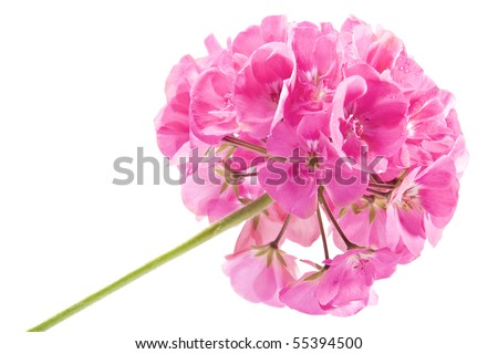 Rose geranium isolated on a white background