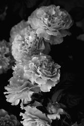 rose, gothic rose. rose photo, white rose, beautiful rose