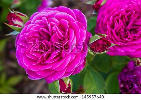 "Rose ""Heidi Klum"". #145957640"