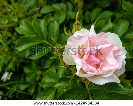 Rose hip flower close up view. Pink rose hip flower. Rose hip flower view. White pink rose hip flower