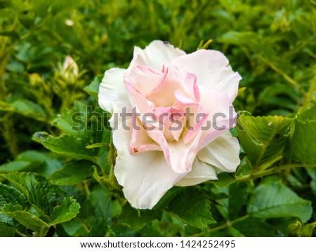 Rose hip flower white pink. Summer rose hip flower. Rose hip flower in summer. Rose hip flower #1424252495