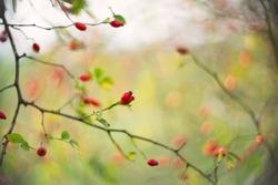 Rose hip fruit on a tree close up