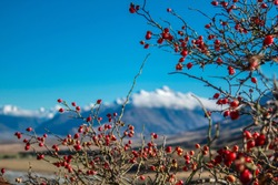rose hip plant in front of blurred mountain background, Ashburton Lakes District, New Zealand