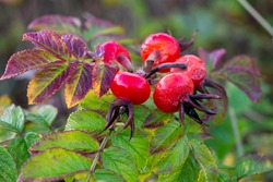 Rose hips of Beach Rose (Rosa rugosa) in the Dutch Dunes, red and shiny with raindrops. Leaves with colors of autumn. Plant species growing in Europe, Asia and North America.