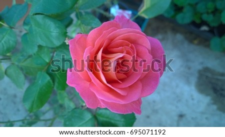 Rose in a Spanish village #695071192