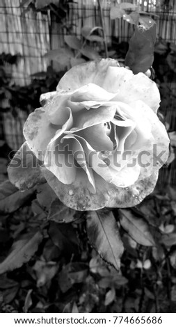 Rose in black and white #774665686