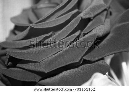 Rose in black and white #781151152