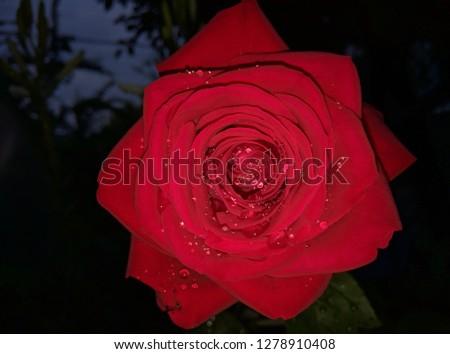 Rose in dew #1278910408