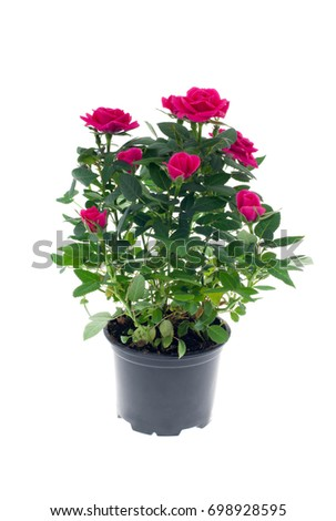 Rose in the pot isolated on white background #698928595