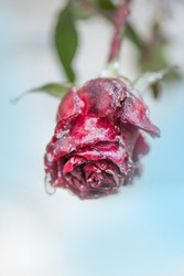 Rose in the snow. Bright rose in icy. Red rose and frozen leafs