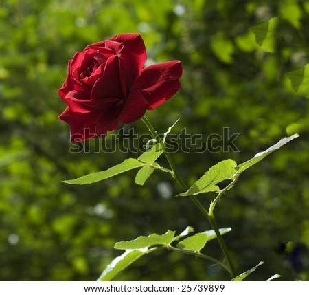 rose in the sun light