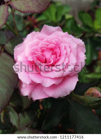 rose is one of the most popular Rosaceae species in the world. It is native to Asia, where people grow beautiful plants, decorate the garden, decorate the house, decorate the place.