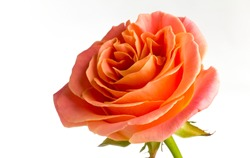 Rose isolated on the white background.