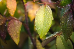 rose leaves with drops of morning dew
