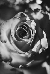 Rose Macro Upclose Beauty Romantic Closeup