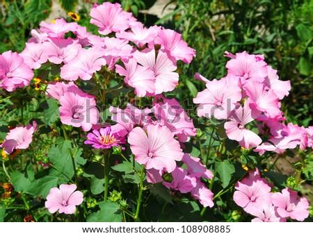 Rose mallows in the garden