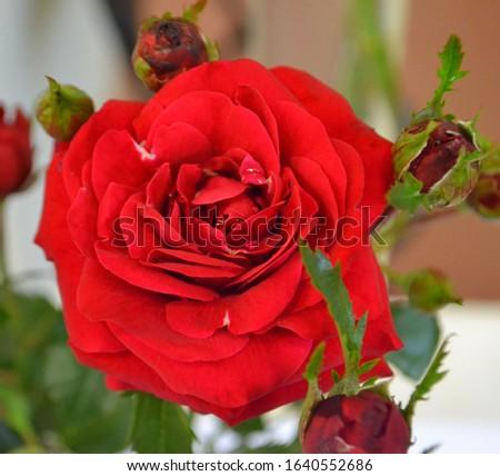 Rose 'Nina Weibull' (Rosa x hybrida) Foto stock ©