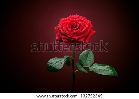 Rose of red color