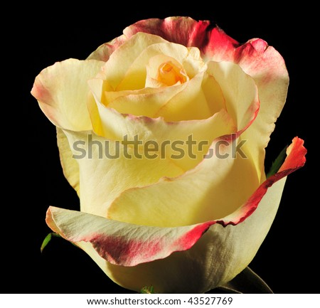 Rose on a black background. The detailed picture of a blossoming flower