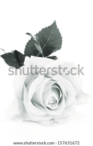 Rose on a white background in black and white
