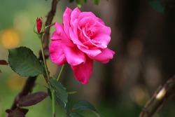 Rose on plant