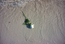 rose on the water pushing by the sea