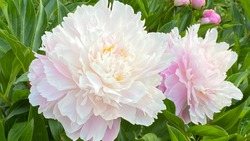 Rose peony flowers in garden, close up. Vintage variety of pink white peony flowers In park