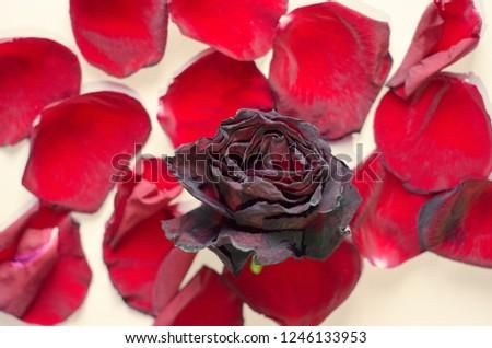 rose petals, flower petals #1246133953