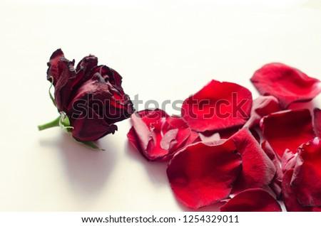 rose petals, flower petals #1254329011