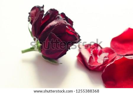 rose petals, flower petals #1255388368