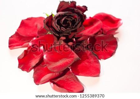 rose petals, flower petals #1255389370