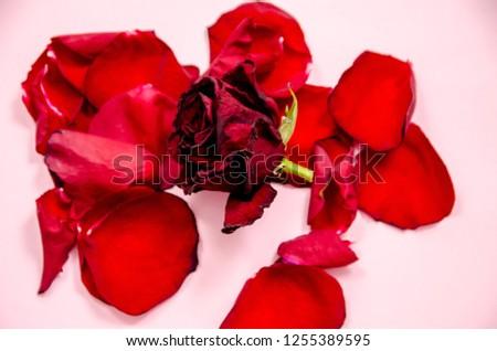 rose petals, flower petals #1255389595