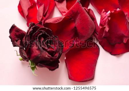 rose petals, flower petals #1255496575