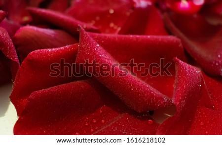 Rose petals in dew close-up, background