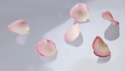 Rose petals on floor, symbolic flower petals of love on a plain white background. Lovely beautiful floral spring or summer pastel background