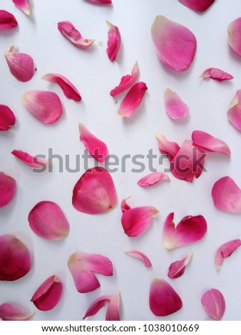 rose petals on white background #1038010669