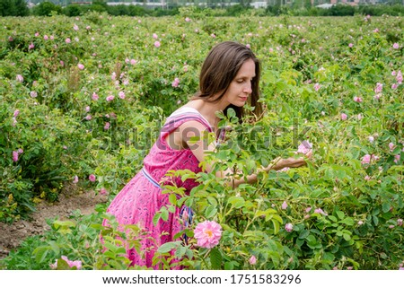 Rose picking in Bulgaria. Female model in pink dress picking roses in a rose field in Bulgaria in May, on the background of a rose field and mountains. Young woman picking roses, Bulgarian rose