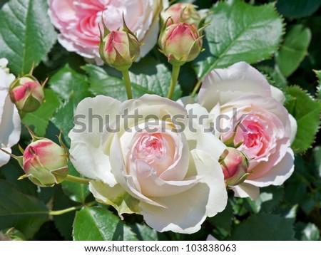Rose: Pierre de Ronsard; Eden Rose