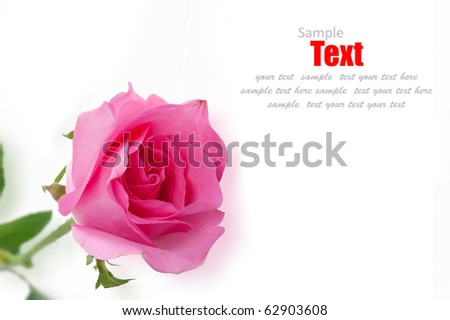 Rose pink isolated on white background