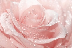 Rose pink with drops of water