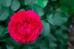 Rose - Red Leonardo da Vinci in the garden with green foliage